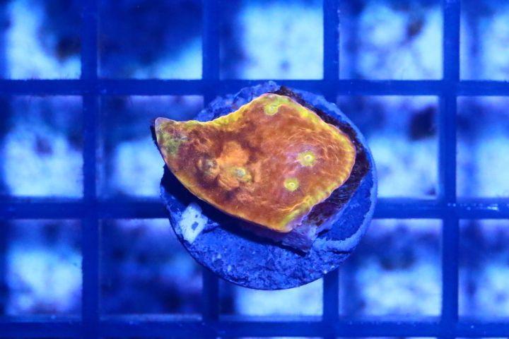 画像1: キッカサンゴ Sサイズ 09 (1)